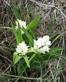 Cephalanthera longifolia - Samandag, Hatay, Turkey.jpg