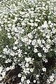 Cerastium biebersteinii kz01.jpg