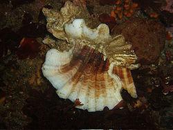 Ceratostoma foliatum.jpg