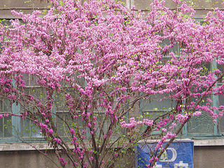 <i>Cercis chinensis</i> species of plant