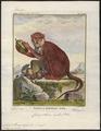 Cercopithecus ruber - 1700-1880 - Print - Iconographia Zoologica - Special Collections University of Amsterdam - UBA01 IZ19900094.tif