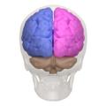 Cerebral hemisphere - 03.png