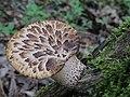 Cerioporus squamosus (Huds.) Quél 519725.jpg