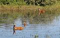 Cervo-do-pantanal - Pantanal.jpg