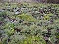 Cetraria islandica 2.0 R.jpg