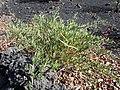 Chã das Caldeiras-Periploca laevigata subsp. chevalieri (5).jpg