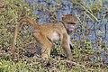 Chacma baboon (Papio ursinus griseipes) juvenile.jpg