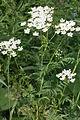 Chaerophyllum aureum (Gold-Kälberkropf) IMG 25965.JPG