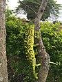 Chameleon closeup.jpg