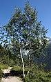 Chamonix - trees.jpg