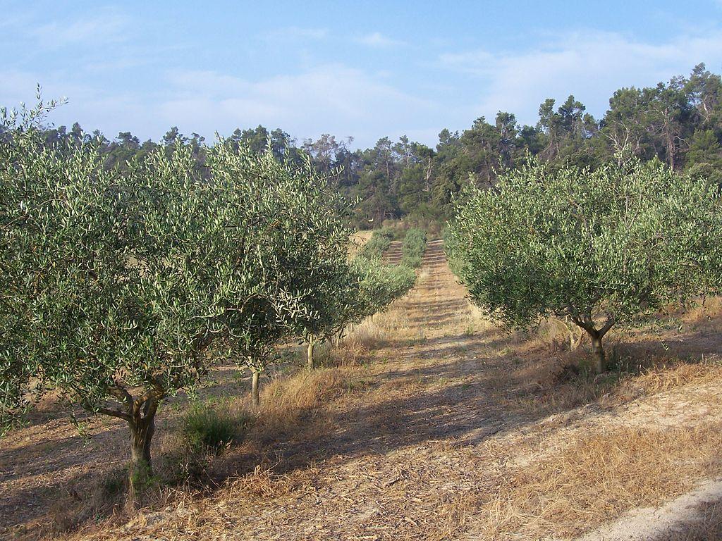 Des solutions contre les ravages de la mouche de l olivier - Cochenille noire de l olivier ...