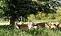 Charlecote Park Deer Sunctuary - panoramio (5).jpg
