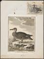 Chaulelasmus strepera - 1700-1880 - Print - Iconographia Zoologica - Special Collections University of Amsterdam - UBA01 IZ17600465.tif