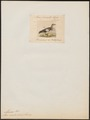 Chaulelasmus strepera - 1834 - Print - Iconographia Zoologica - Special Collections University of Amsterdam - UBA01 IZ17600449.tif