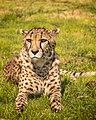 Cheetah (211532849).jpeg