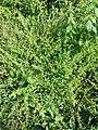 Chenopodium polyspermum sl31.jpg