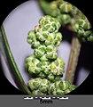 Chenopodium strictum sl20.jpg