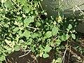 Chenopodium vulvaria sl9.jpg