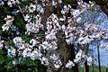 Cherry blossoms 0006 - 2012-03-15 (6848900546).jpg