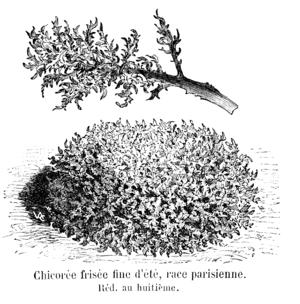 Chicorée frisée parisienne Vilmorin-Andrieux 1904.png
