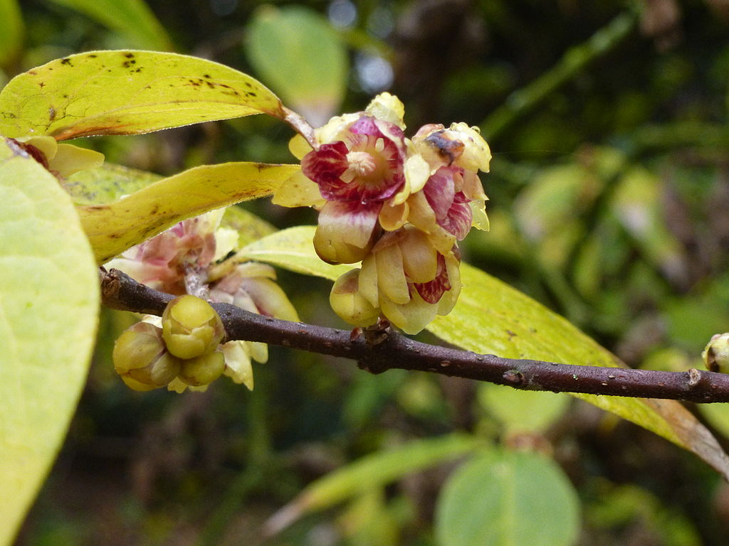 File chimonanthus praecox jardin des plantes winter 02 jpg for Jardin 02