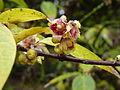Chimonanthus praecox-Jardin des plantes-winter 02.JPG