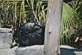 Chimpance (Pan Troglodytes)2.jpg