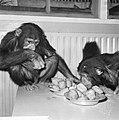 Chimpansees Tilly en Hilda uit Artis eten oliebollen, Bestanddeelnr 918-6182.jpg
