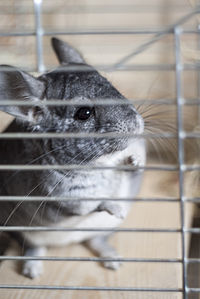 Chinchilla 3.jpg
