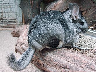 Chinchilla - Chinchilla lanigera at the Wrocław Zoo in Poland