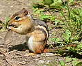 Chipmunk Eating A Dragonfly (162038423).jpeg