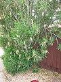 Chitalpa Tashkentensis in the Bignoniaceae Family. Leaves in Whorls of 3 with smooth margin. Hybrid of Chilopsis Linearis (Desert willow) and Catalpa Bignonioides (Southern catalpa). - panoramio.jpg