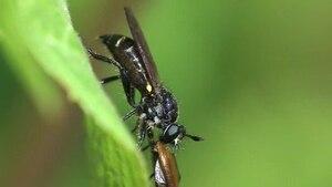 File:Choerades spec eats a beetle.ogv
