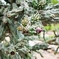 Cholla blossom (33095006794).jpg