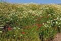Chrysanthemum coronarium et Papaver rhoeas, Crete 01(js).jpg