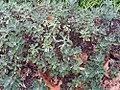 Chrysanthemum pacificum Red Selection 0zz.jpg