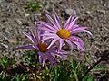 Chrysanthemum weyrichii 02.JPG