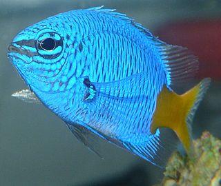 <i>Chrysiptera parasema</i> species of fish