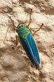 Cicadella viridis en Oroso. Galiza-3.jpg