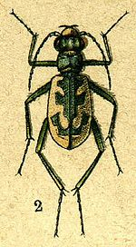 Cicindela elegans from Jacobson.jpg