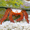 Ciliopagurus strigatus cropped highlight legs.JPG