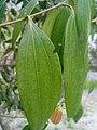 Cinnamomum tamala in Bangladesh.jpg