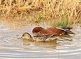 Cinnamon teal on Seedskadee National Wildlife Refuge (41788669902).jpg