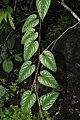 Cissus bicolor 7235.jpg