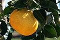 Citrus natsudaidai.jpg