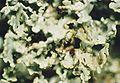 Cladonia caespiticia-3.jpg