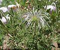 Clematis villosa subsp villosa, saadkop, Walter Sisulu NBT.jpg