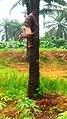 Climbing palm tree.jpg
