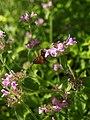 Clinopodium vulgare (Lamiaceae) with Ochlodes sylvanus (Hesperiidae) Bijela gora Montenegro.JPG