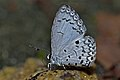 Close wing mud-puddling of Lestranicus transpectus (Moore, 1879) – White-banded Hedge Blue WLB DSC 3916.jpg